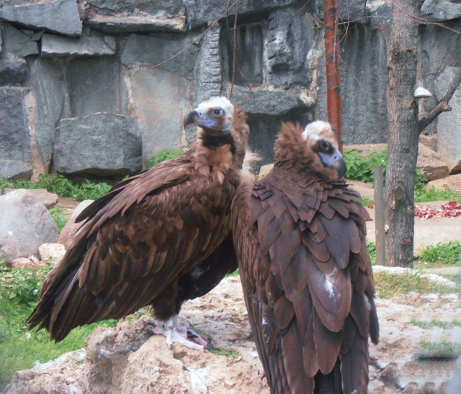 Steller's Sea Eagles, Moscow Zoo